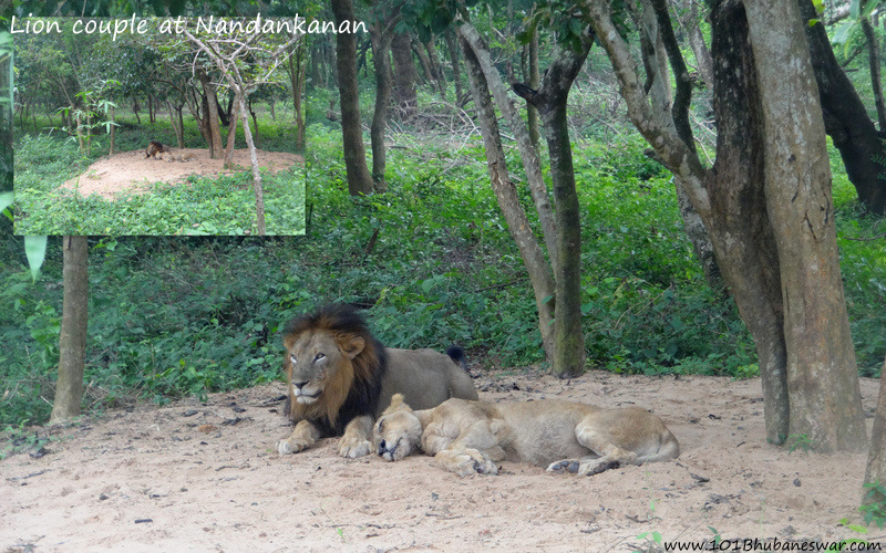 Lion couple in Lion Safari